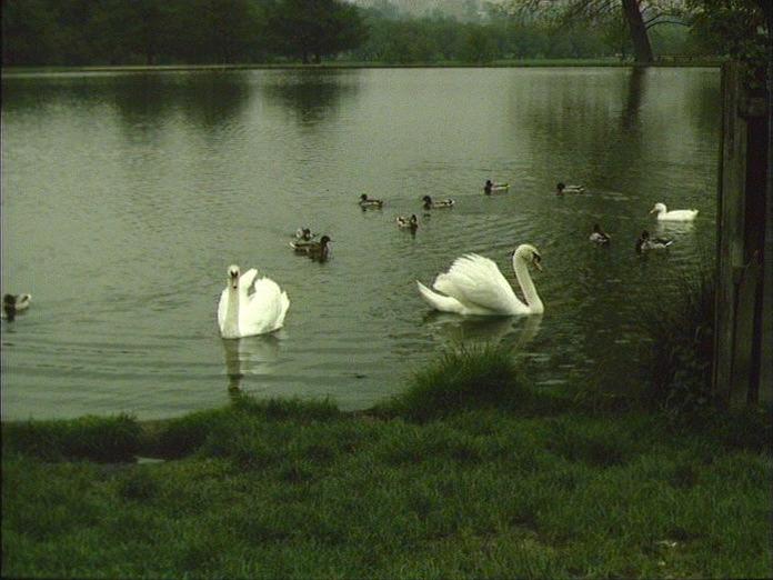 SWANS IN RICHMOND PARK