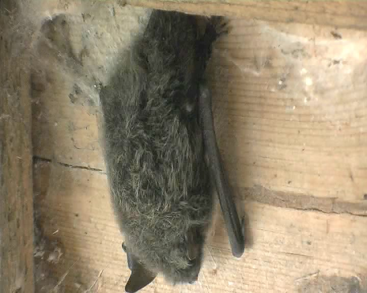 Bat in the Hide