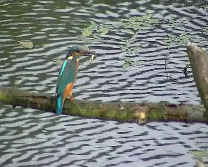 2 for 1 Kingfishers