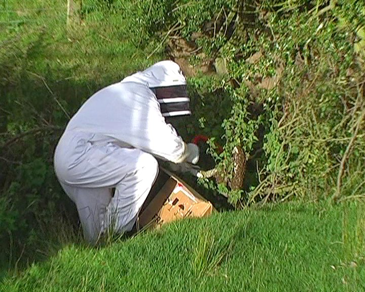 Wild Honey Bees Swarm
