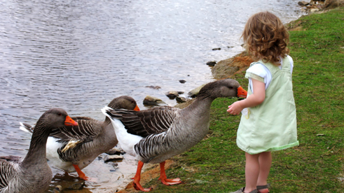 Little girl feeding geese