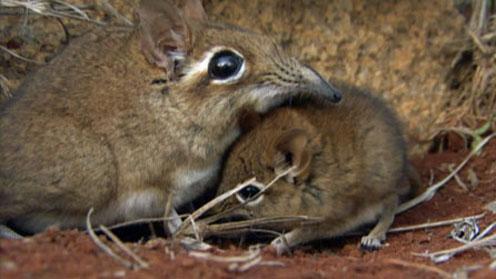 Sengi mum and her baby