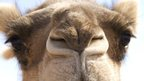 Australia, home to the world's largest camel herd